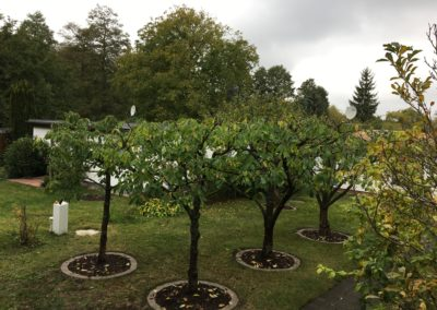 Kirschbaumschnitt